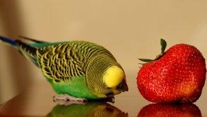 tipuri papagali